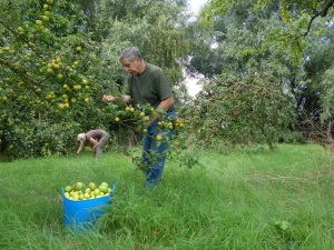 Alberts orchard has quite a number of diffrent apple trees