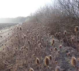 Plenty of teasels here