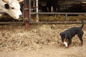Missy keeping the farm rats at bay