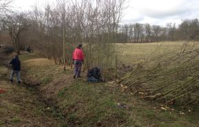 CNTV hedge laying