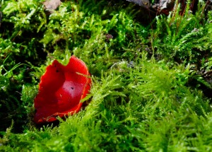 You know it's spring, the scarlet elf cups start to appear