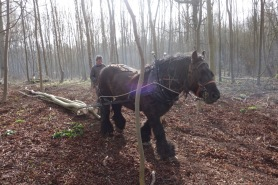 Extracting the timber by horse power