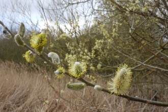 The willow catkins are out