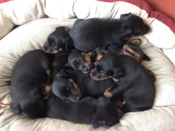 The Jagdterrier puppies are growing