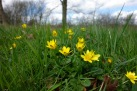 Meadows strewn with gold