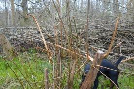 Fallow deer damage