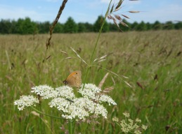 Meadow browns are booming