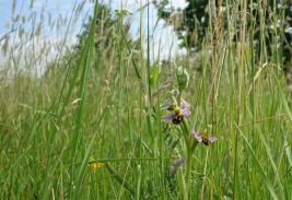 Bee orchids galore