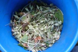 Primrose seed