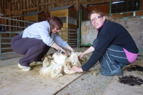 Sheep shearing course