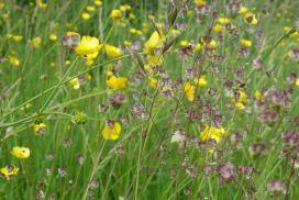 Wild quaking grass