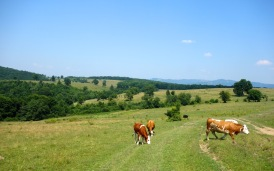 Cattle grazing and pollard trees