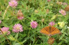 A fritilary butterfly