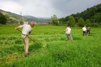 Mowing the fodder barley