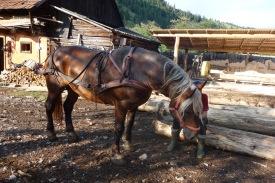 Forestry stallion
