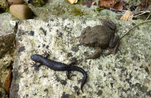 Great crested newt getting toad off!!!!