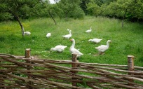 Geese grazing the orchard