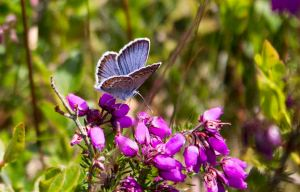 Silver studded blue butterfly that needs heather