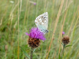 Chalk hill blue on Knapweed