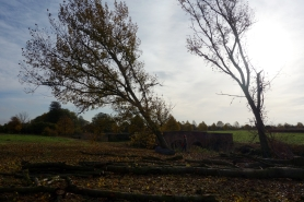 Last of the poplars to be felled