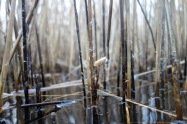 An unusual fungus growing on the reed