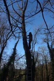 More tree surgery
