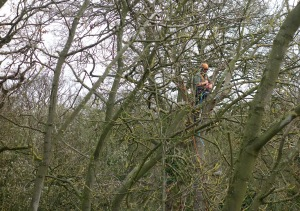 Tom up an ash tree removing a big piece of deadwood