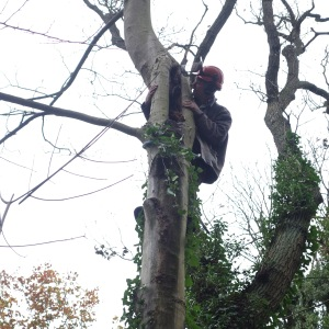 Inspecting the sycamore tree