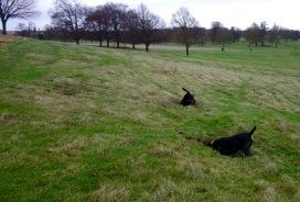 Rabbit locating dogs