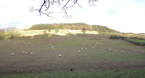 Ploughed to make way for turnips!