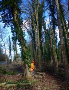 Tree surgery alongside the A1198