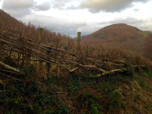 The Welsh hedge