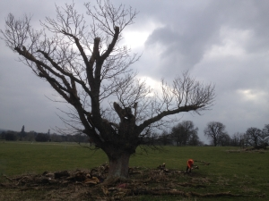 Sycamore in need of some limb reduction