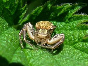 Xysticus .. Crab Spider