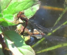 Large Red Damsel Fly