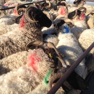 Sheep off to market