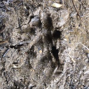 Otter footprints