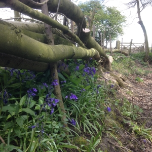 Bluebells and the laid hedge at Home farm