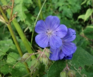 Meadow cransbill