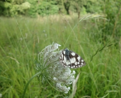 Marbled white on Wild carrot