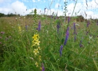 Agrimony & Tufted vetch