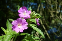 Broad leaved willow herb
