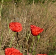 Common poppy