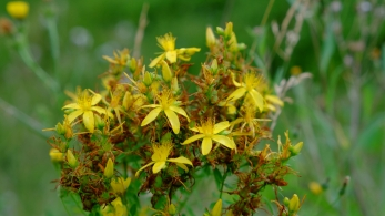 Perforated St Johns wort