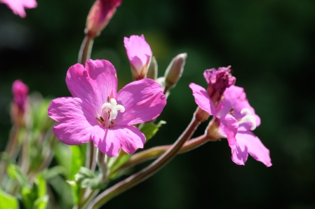Broad-leaved willow herb
