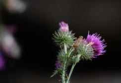 Welted thistle