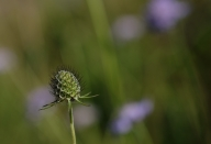 Small scabious seed head