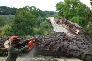 A rather large black walnut trunk to make safe
