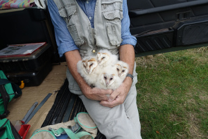 Colin Shawyer with a bundle of young barn owls