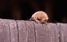 Pipestrelle bat